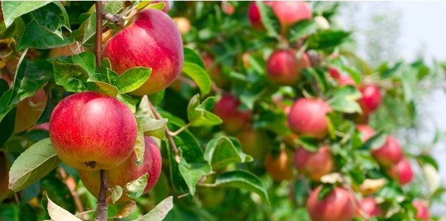 Apple vinegar for inflammatory disease